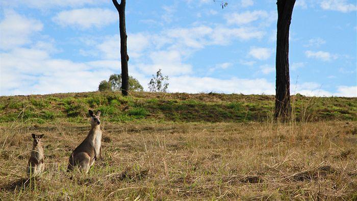 Kangaroos graze on an empty block in Mount Larcom near Gladstone #kangaroos #country #australia