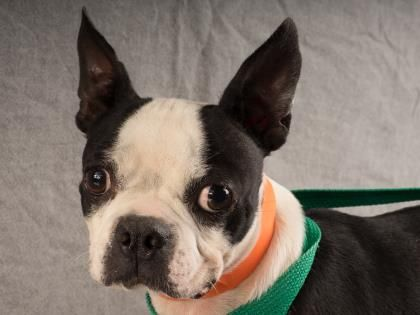 Adopt Joy, a lovely 7 years 4 months Dog available for adoption at Petango.com. Joy is a Terrier, Boston and is available at the National Mill Dog Rescue in Colorado Springs, Co. www.milldogrescue... #adoptdontshop #puppymilldog #rescue #adoptyourfriendtoday