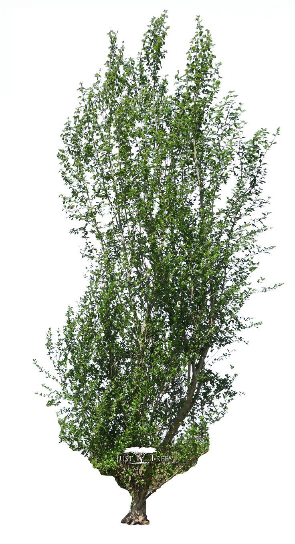 Populus simonii | Common name: Chinese Poplar | Spring 2