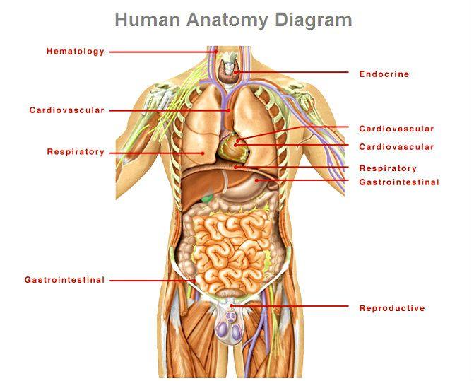 Human Anatomy Diagram Anterior View