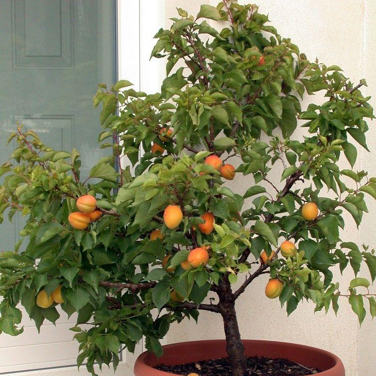 Abricotier nain Garden Aprigold® Prunus armeniaca