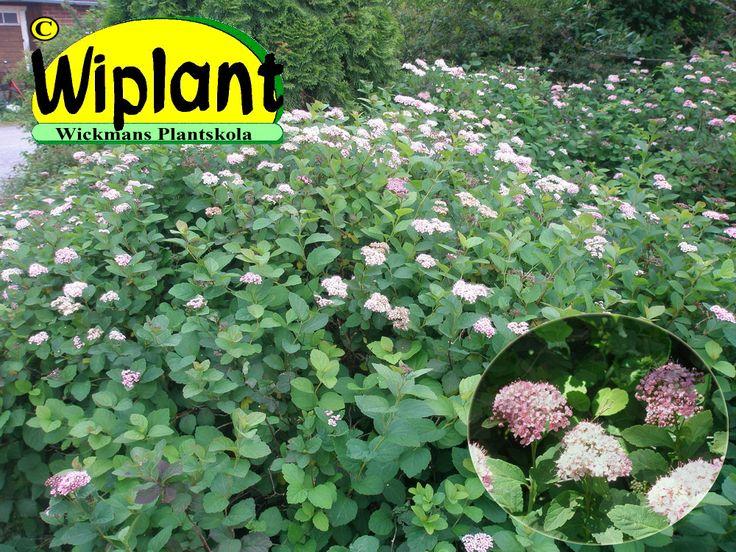"""Spiraea densiflora, amerikansk björkspirea eller """"släntspirea"""". Denna spirea är utmärkt för svåra slänter och områden man gärna vill täcka. Ett enda exemplar kan växa till en buske med diameter på över 2 meter och man behöver egentligen aldrig föryngringsbeskära. Höjd 1 m."""