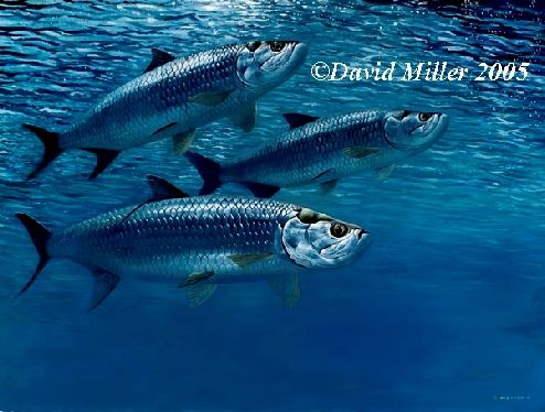 Blue Water Tarpon by David Miller Limited Edition print A3: £60.00 A2: £75.00