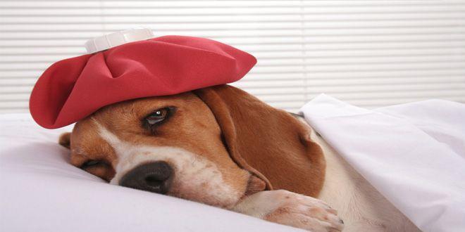 Descubre aquí como unos simples remedios caseros te ayudarán a eliminar las garrapatas, estreñimiento, diarrea, infección urinaria y ácaros del oído en tu perro. Clic Aquí>>> http://sobreperrosygatos.com/remedios-caseros-para-perros/