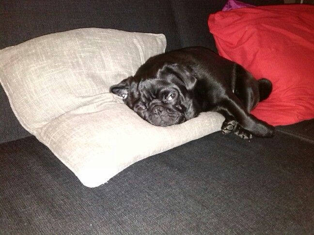 Our pug Tommie/ onze mopshond Tommie