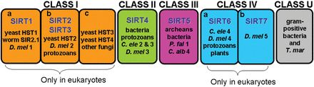 Figure 3 Classification of mammalian sirtuins - The 7 mammalian sirtuins are classified into 4 classes according to molecular phylogenetic analysis. Sirtuins from Class II, Class III and Class U (undetermined) seem to have evolved earlier than the other classes. Thus, SIRT4 and SIRT5 may be the most ancient mammalian sirtuins. Class I and Class IV sirtuins, which  ...  [ Sirtuins in mammals: insights into their biological function - Shaday Michan, David Sinclair Biochemical Journal 15 May…