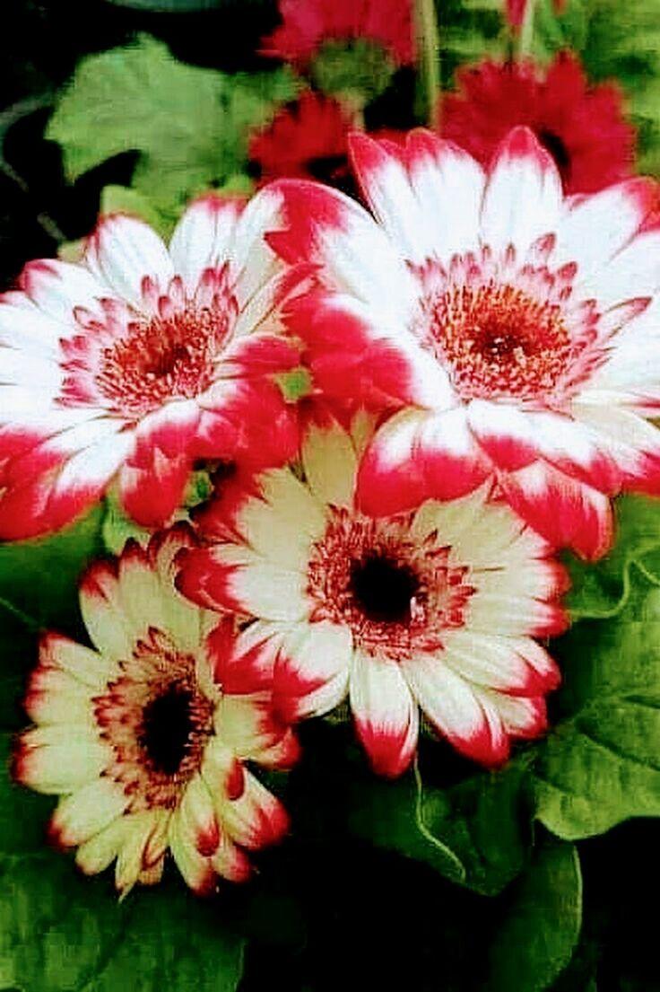 1106 best Flowers images on Pinterest   Beautiful flowers, Blue ...