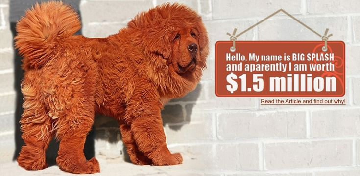 Worlds Most Expensive Dog is the Red Tibetan Mastiff Which Was Recently Sold at a Staggering Price of $1.5 million. Find Out Why It Is Worth That Much!