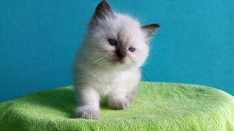 Ads - Kittens aangeboden liesbet wagenaar leeuwarden 20 november geboren prijs onbekend ragdoll nog twee katers beschikbaar