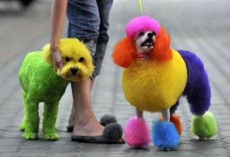 why?: Dye, Animals, Poodle, Dogs, Colors, Rainbows, Pets, Poor Dog, Hair