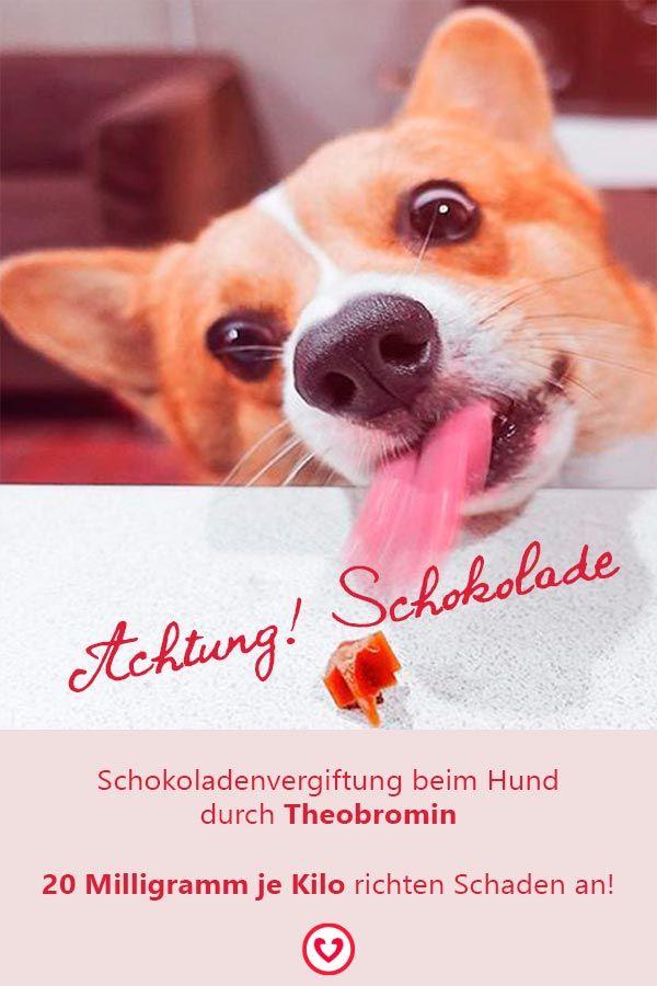 Schokoladenvergiftung beim Hund durch Theobromin | Hunde