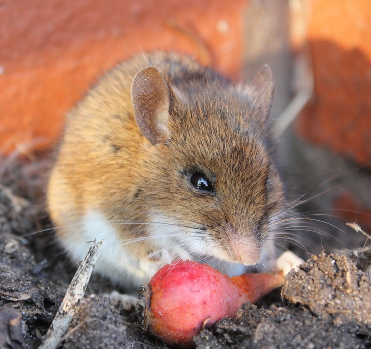 Wood mouse in the walled garden!