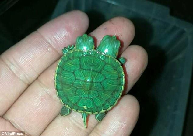 Adorable Mutant Turtle Nicknamed Michelangelo Has Two Heads Turtle Reptile Breeder Two Heads