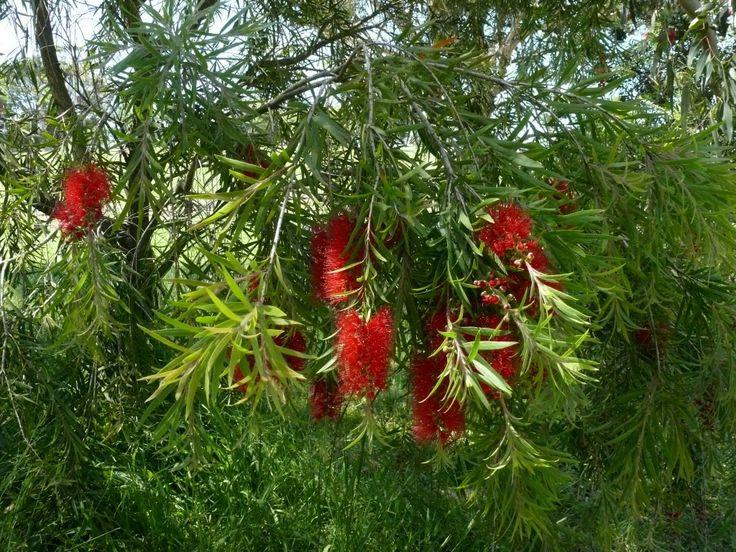 Callistemon Edna Walling Scarlet Willow --- For more Australian native plants visit austraflora.com