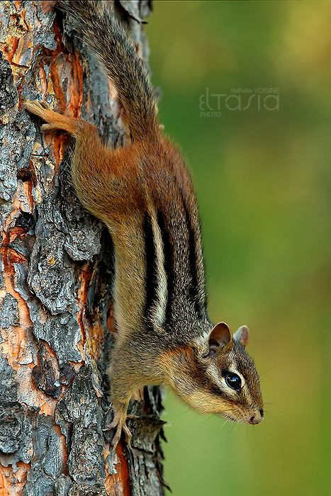 Chipmunk by *Eltasia  Chipmunks are so cute!