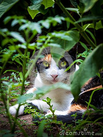 Download Calico Triple Fur Cat In Garden Royalty Free Stock Images for free or as low as 0.70 lei. New users enjoy 60% OFF. 20,795,339 high-resolution stock photos and vector illustrations. Image: 32368239
