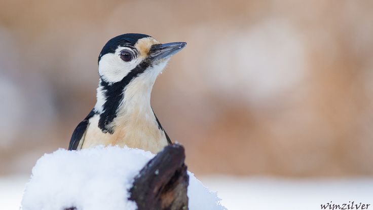 Grote Bonte Specht - Great Spotted Woodpecker | Flickr - Photo Sharing!