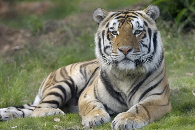 Meet Mike the Tiger, Louisiana State University mascot.  LSU fans have a truly regal and fierce, not to mention beautiful and adorable, mascot: a Bengal tiger. When he isn't roaring through Tiger Stadium, you can find him in his 15,000-square-foot, state-of-the-art habitat on the campus. Geaux Tigers!