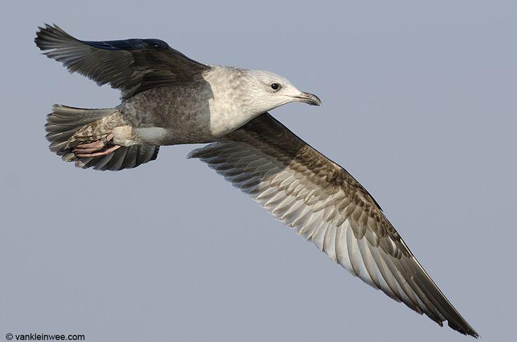 american herring gull   American Herring Gull, banded as '1106-26919′ – 20140213   Gulls ...