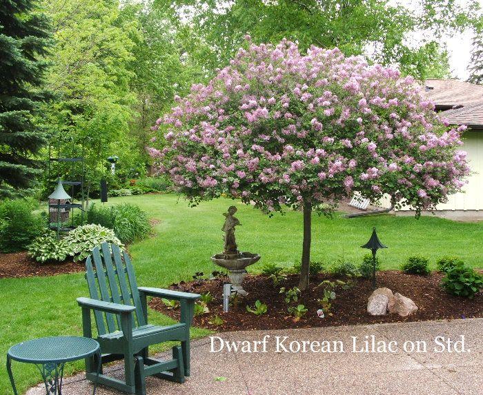 25 B 228 Sta Dwarf Lilac Tree Id 233 Erna P 229 Pinterest Japansk