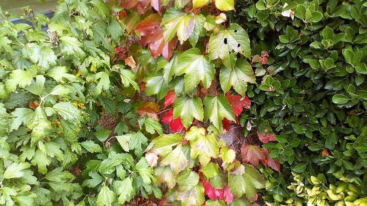 Parthenocissus tricuspidata (Siebold & Zucc.) Planch.  Planta trepadora también conocida como Ampelopsis veitchii.   De hoja caduca, es muy característico el color rojizo de sus hojas en otoño, antes de desprenderse de ellas. Posee ventosas para adherirse a la superficie de apoyo.  Es de rápido crecimiento.  Planta muy rústica, exposición soleada y sombra, muy resistente a las heladas.