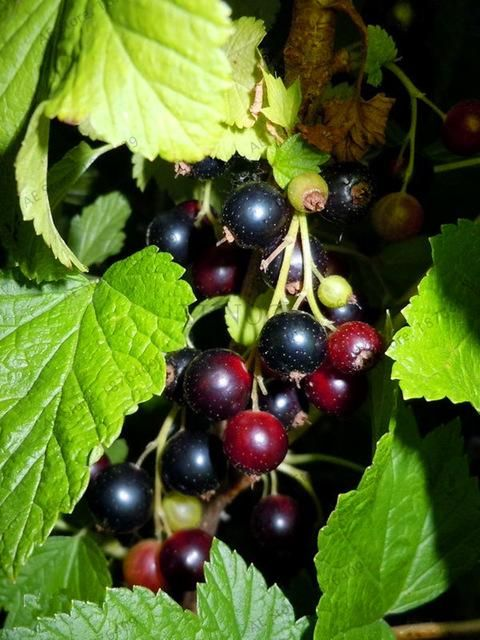 Red currant Fruit plant Pan-American Gooseberry seeds Lantern fruit seeds 105pcs Landscape Plant Home and Garden.