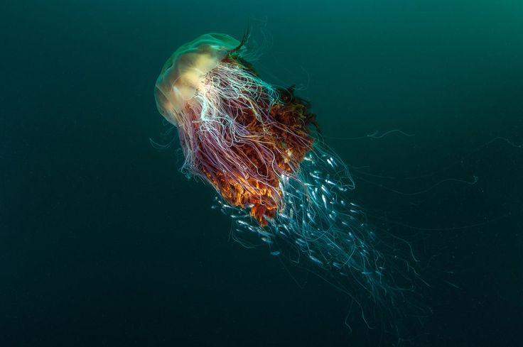 """Grand Prix trafiło w ręce Geogra Stoyle'a za zdjęcie """"Hitchhikers"""", prezentujące meduzę, za której mackami płynie ławica małych rybek. Ze względu na rozpiętość i ubarwienie macek, meduza ta jest nazywana """"Lwią Grzywą""""."""