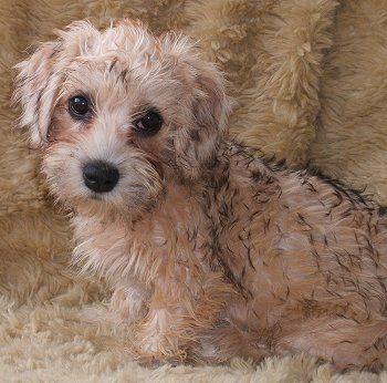 Dandie Dinmont Terrier puppy