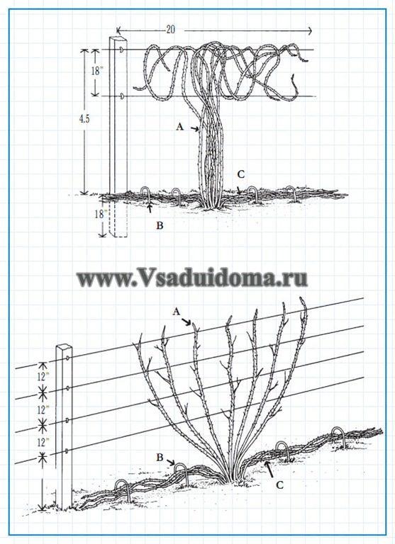 как выращивать ежевику на проволоке (шпалере)