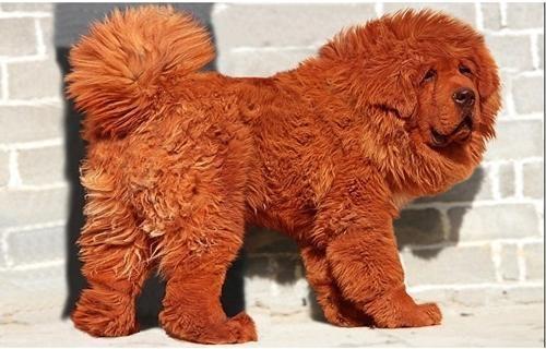 Mastiff Tibetano - O Mastiff Tibetano é uma raça que surgiu no Himalaia por volta de 1.100 aC.  Seu preço - US$ 1,5 milhoões
