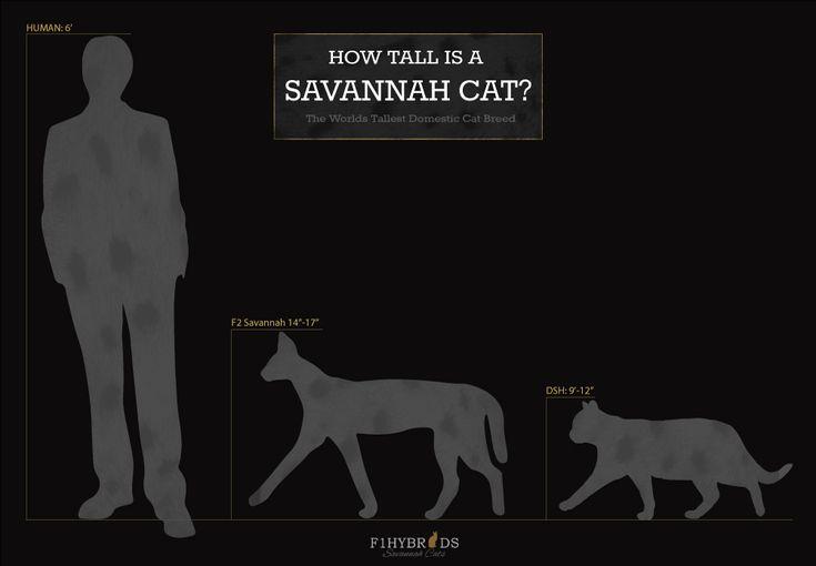 Savannah Cat Size Diagram