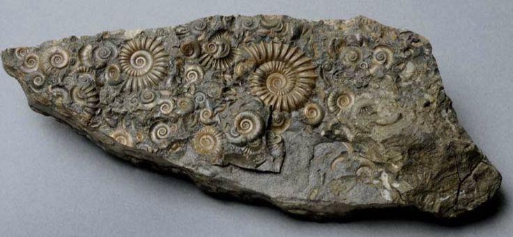 Ammonite Quick Facts