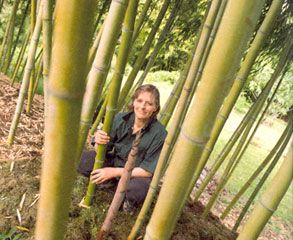 How to plant and grow bamboo. This wonder plant supplies the world with food, fuel and furniture as well as beautifies your garden. Originally published as