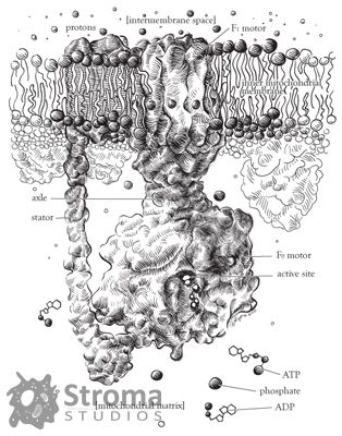 medical illustration of The traditional media of pen & ink was combined with the visualization of molecular machines. This work shows ATP synthase embedded in the mitochondrial membrane, with other important membrane proteins in the background and its substrates floating in the matrix. Protein shapes are based on renderings of actual X-ray crystal structures.
