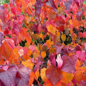 Cercis canadensis 'Forest Pansy' autumn foliage