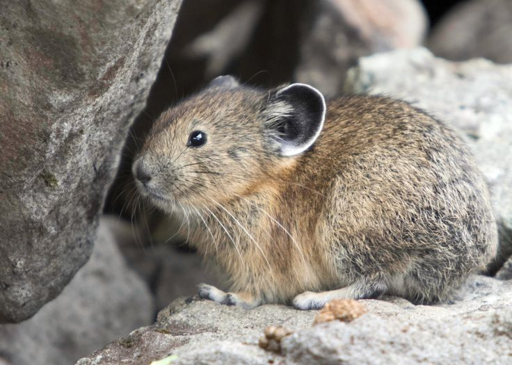 Pikas, unlike marmots, are awake throughout the snowy mountain winters, huddled beneath the insulative snow cover.  They spend a great deal of time hoarding greens for the long months without, which is why they are often seen skittering about the rocks with flowers in tow.