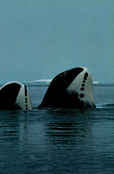 Flip Nicklin, bowhead whales, National Geographic, August 1995
