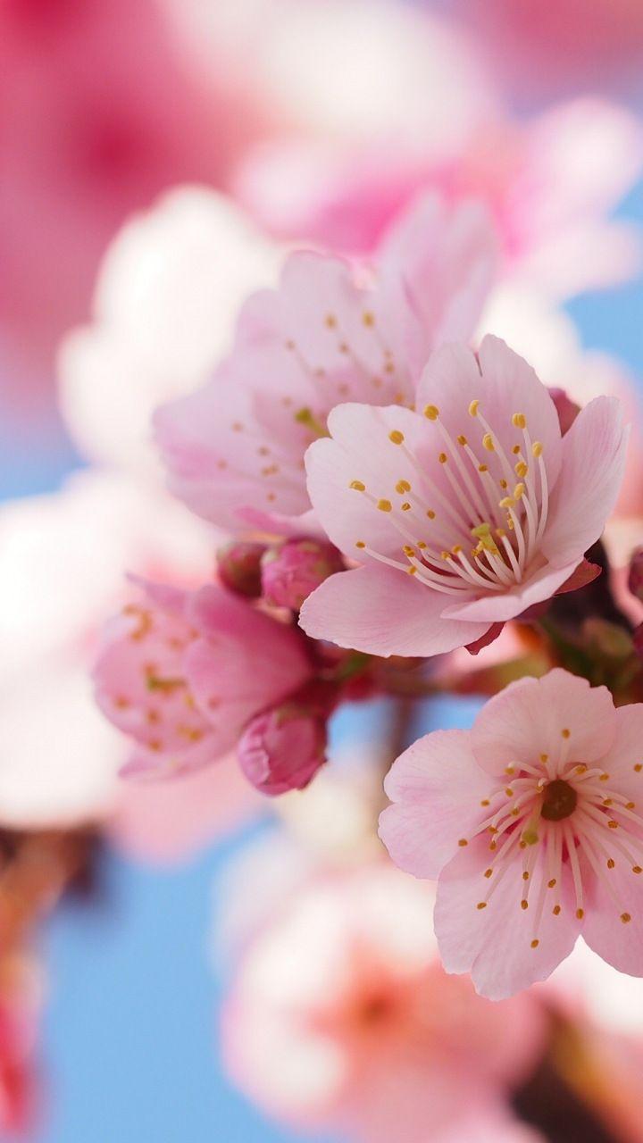Cherry flowers, blossom, spring, close up, 720×128…