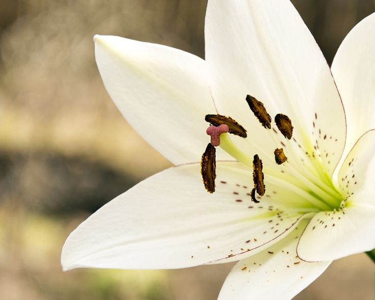Easter Lily - Detail of an Easter Lily, Lilium longiflorum.