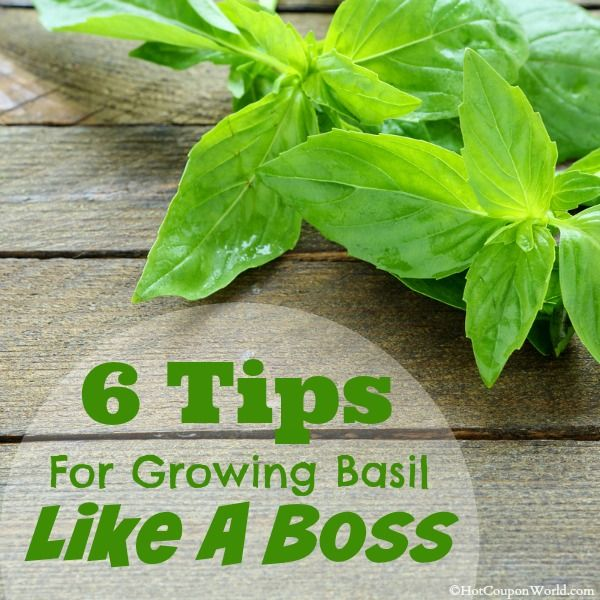 how to grow a big basil plant