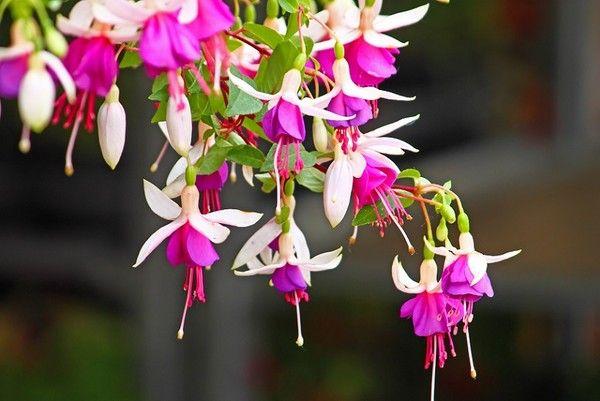 Fuksja (Ułanka) - kwiat warty uprawy