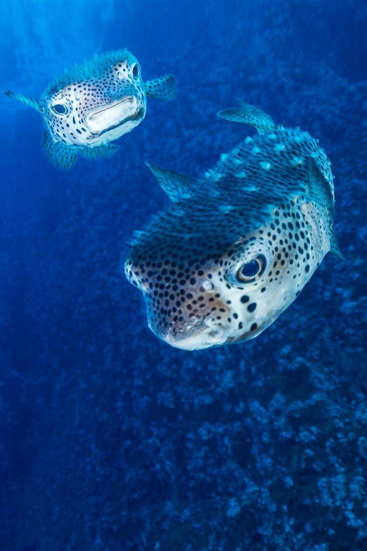 de una especie de pez globo