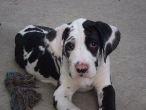 Patch is an adoptable Great Dane Dog in Burnham, PA. This is our boy Patch. He is an 11 week old male Great Dane/Boxer mix puppy. He was born in rescue along with his 17 siblings, unfortunately 3 of t...
