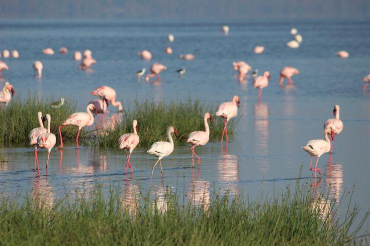 flamingos at Lake Nakuru-Kenya-