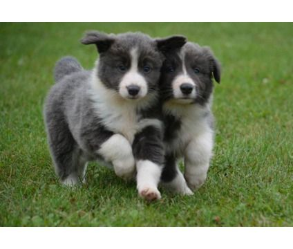 Dsysge Blue & White BORDER COLLIE puppies for sale | Blue, White ...