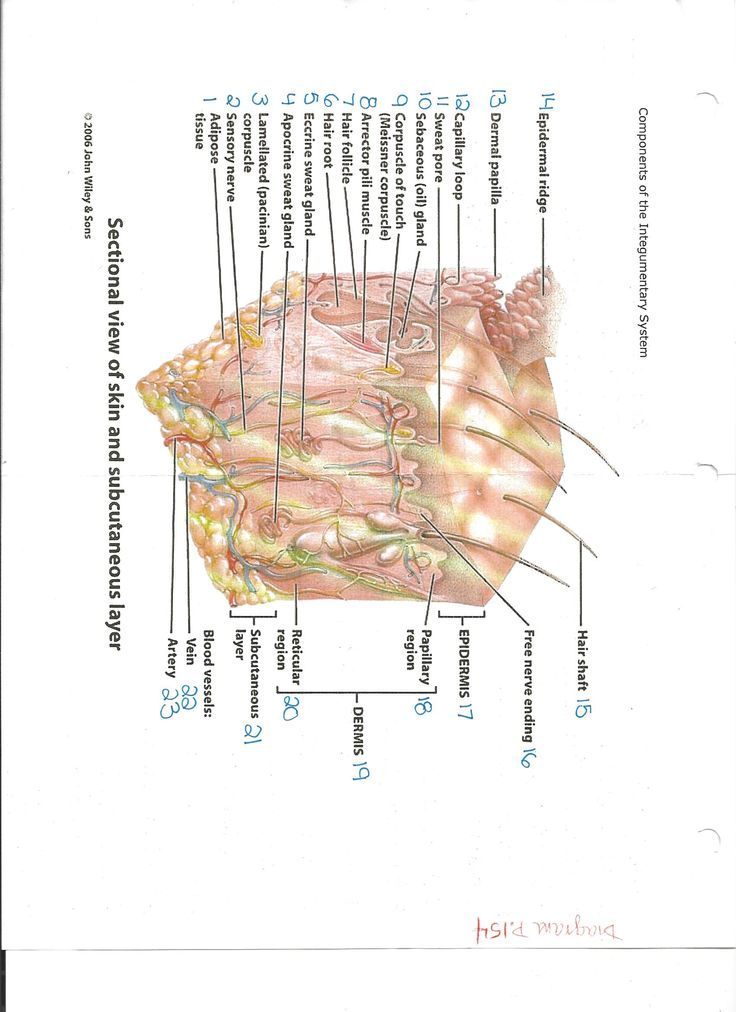 20 best My Notes - The Integumentary System images on Pinterest ...