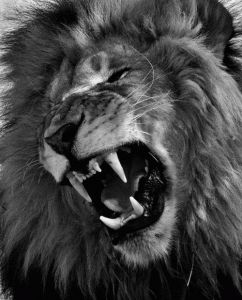 Best Animals Images On Pinterest Lion Tattoo Animal Drawings - Photographer captures angry lion before attack