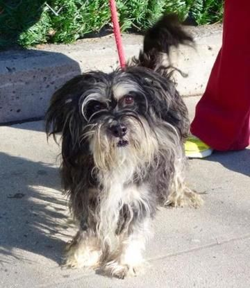 12/27/16 NYC ACC A1100298 Check out Monkey's profile on AllPaws.com and help him get adopted! Monkey is an adorable Dog that needs a new home. https://www.allpaws.com/adopt-a-dog/shih-tzu/5669815?social_ref=pinterest