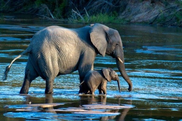 """Walk With Me  This photograph is titled Walk With Me and it was captured by photographer Doug Croft.  Doug explains the wonderful story behind his image, stating: """"It was amazing to watch several family groups of elephants around the river. The little ones run around and play like puppies, but the tiny ones stay very close to their mothers. We were fortunate to capture this magical moment with mother and baby."""""""