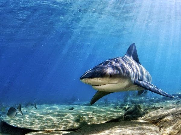 Bull Shark. And as per the comments, they're still like 100000000 times less aggressive and dangerous than humans so sensationalizing yourselves with trivia about their testosterone levels and freshwater swimming abilities is detrimental.